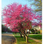 Sementes De Cercis Chines Redbud - Mudas Bonsai Jardim Vasos