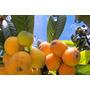 30 Mudas Fruta Ameixa Amarela No Tubete - Arvore Frutifera