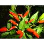 Pimenta Malagueta Nivel 9 De Picancia (forte) 100 Sementes