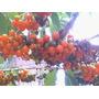 200 Sementes Fruta De Sabiá Atrai Pássaros