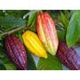 Sementes De Cacau 1kl Secas S/ Agrotóxicos Para Consumo