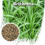 Sementes Brachiaria Brizantha Alta Qualidade Frete Gratis