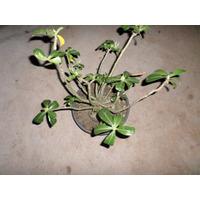 Adenium Obesum 10 Sementes Raras Do Deserto Cor Branca