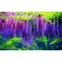 Glicinia Wisteria Trepadeira Bonsai 12 Sementes