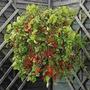 Sementes Tomate Cereja Samambaia P/ Vaso Frete Gratuito