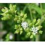 Stevia Rebaudiana Variedade Morita -30 Sementes-frete Gratis