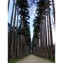 Sementes Palmeira Imperial 50 Gramas Aprox 60 A 65 Sementes
