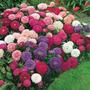Sementes Da Bellísima Flor Aster Pluma De Avestruz Sortida