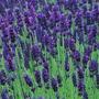 Sementes Lavanda Flor E Jardim
