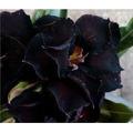 Semente Rosa Rara Black Swamp Flor Exôtica Planta E Jardim