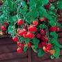 50 Sementes De Tomate Médio Samambaia Grátis Manual Plantio