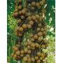 Kepel Apple - Keppel Fruit 30 Sementes-manual De Cultivo