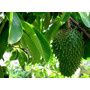 25 Sementes De Graviola! Frutífera Exótica! Frutos Enormes!