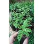 Muda Jacaranda Mimoso