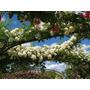10 Sementes Rosa Chinensis Trepadeira - Flor Jardim Frete Gr