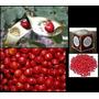Pau Brasil Ornamental 500 Sementes + Brinde Frete Gratis