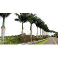 10 Sementes De Palmeira Imperial Com Frete Grátis.