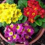 100 Sementes Da Flor Primula Elatior Sortidas A Mais Linda
