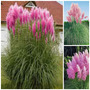 Sementes Capim Dos Pampas Rosa Grass Cortaderia Pink +brinde