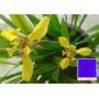 Falso Iris Amarelo - Mudas