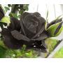 20 Sementes Rosa Negra Halfeti Frete Grátis Mercado Envios