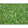 Semente De Grama Batatais Bahiagrass 1 Kg + Manual