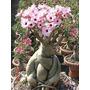 Rosa Do Deserto Adenium Obesum 1000 Sementes Frete Gratis