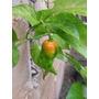 50 Sementes De Pimenta Bhut Jolokia Pura+brinde+frete Grátis