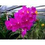 Orquidea Vanda Siriporn Pink Flores De Rosa Intenso Adulta