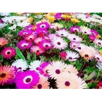 1000 Sementes De Flor Ficoide Tapete Magico #xex5