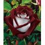10 Sementes Rosa Osiria Aveludada Bicolor Nativa Da Alemanha