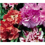Godetia Azaléia Sortida Flor Sementes P/ Mudas + Brinde