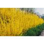Forsythia Sino Dourado Cerca Viva Sementes Flor Para Mudas