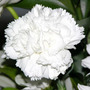 50 Sementes De Cravo Chabaud Gigante Dobrado Branco