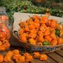 Sementes Da Pimenta Mexicana Habanero Orange - Fretegratis