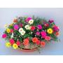 2200 Sementes Da Flor Onze Horas Vaso Jardim Frete Gratis