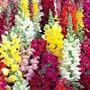 1550 Sementes Da Flor Boca De Leão Anã + Frete Gratis