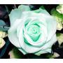 10 Sementes Rosa Verde Fresh Rara Flor Chinensis Planta Muda