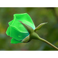 20 Sementes Rosa Verde Fresh Rara Flor Chinensis Planta Muda
