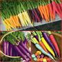 1100 Sementes Das Cenouras Coloridas Arco Iris Fretegratis