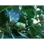 Noni 3 (três)und Fruta Medicinal Fitoterapicas P/ Sua Saúde