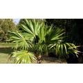 20 Sementes De Palmeira Leque Prateada Com Frete Grátis