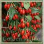 Sementes De Goji Berry Fruta Da Longevidade Lycium Barbarum