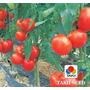 Sementes De Tomate Híb. Grandeur (t-70) Env. C/ 5 Gr