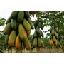 100 Sementes Mamão Formosa Gigante Mais Frete Gratis #v994