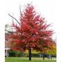 Carvalho Americano Quercus Palustris Bonsai Sementes P/mudas