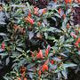 Pimenta Demônio Vermelho Demon Red Pepper Sementes P/ Mudas