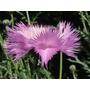 Centaurea Imperialis Flor Anual Sementes Para Mudas + Brinde