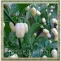 Pimenta White Habanero Branca Hot Sementes Raras P/ Mudas