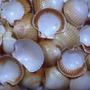 Conchas Do Mar Atacado - 1 Kg